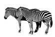 Young beautiful zebras isolated on white background.