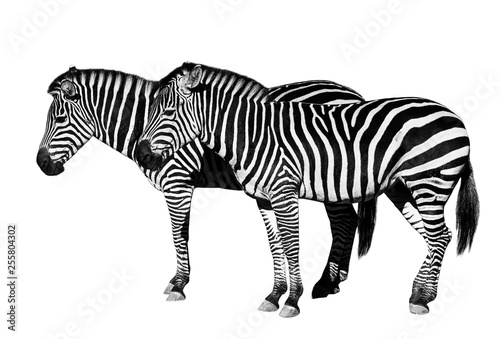Young beautiful zebras isolated on white background. - 255804302