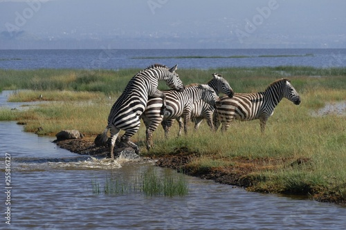 Zebras crossing a river - 255816727
