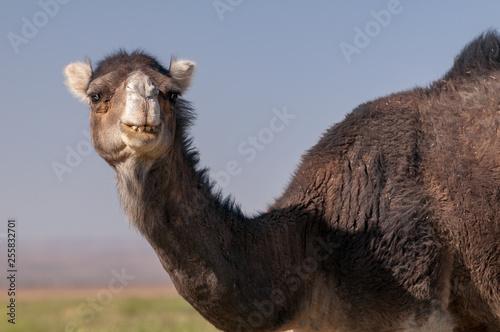 Dromedary in desert landscape of Morocco