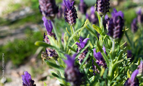 Honeybee on French Lavender - 255839754