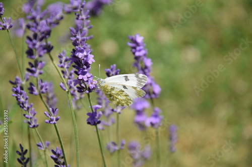 Field of Lavender - 255855392