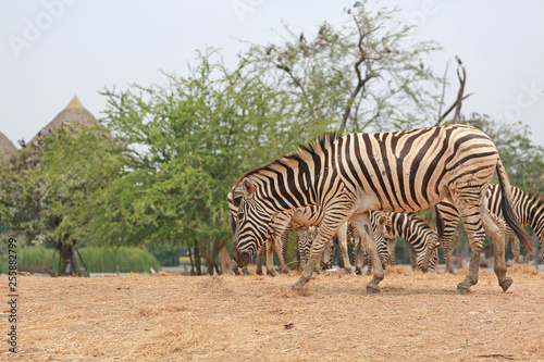 Portrait of zebra in thailand zoo.  - 255882799