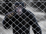 3D rendering of a chimpanzee trapped behind a fence.