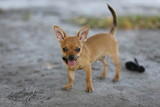 Chihuahua, nature, street, dog, nature, puppy, Dog, animal, pet, puppy, brown, cute, breed, dog, mammal, isolated, sitting, Chihuahua, white, small, Pets, puppy, dog, adorable, grass, friend, funny, p
