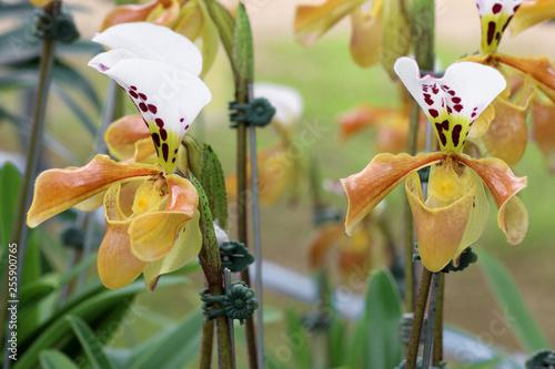 beautiful paphiopedilum orchid, paphiopedilum spicerianum - 255900765