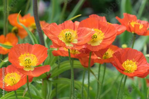 Orange Mohnblüten im Frühling - 255915171