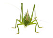Green locust isolated on white