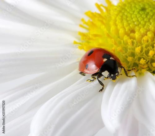 Ladybug on chamomiles