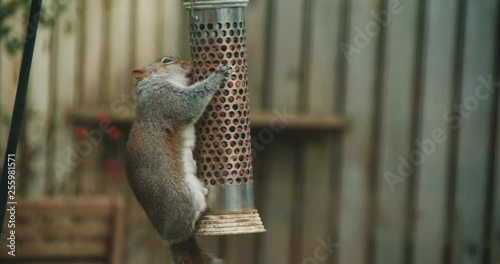 Closeup shot of a wild squirrel eating bird peanuts