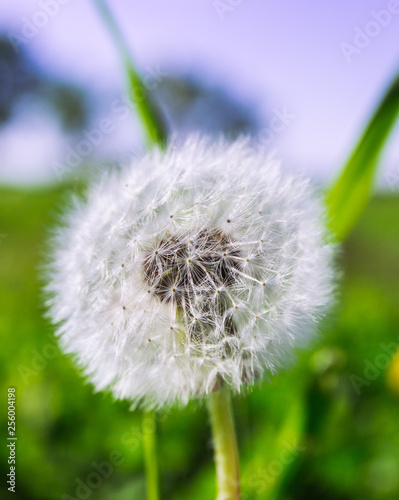 dandelion on green background - 256004198