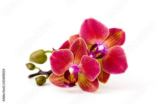 Beautiful colorful orchid - phalaenopsis - white background - 256016524