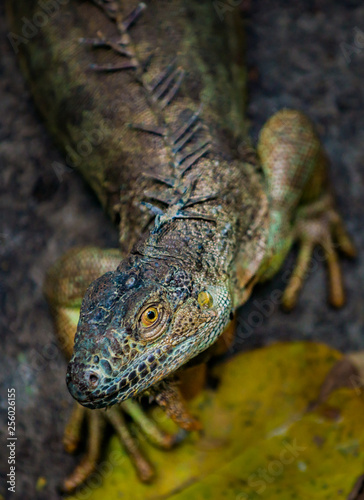 Iguana shallow depth of field with focus on the eye