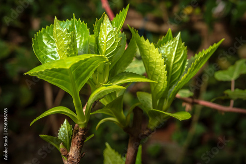 Sprout on brach of hydrangea