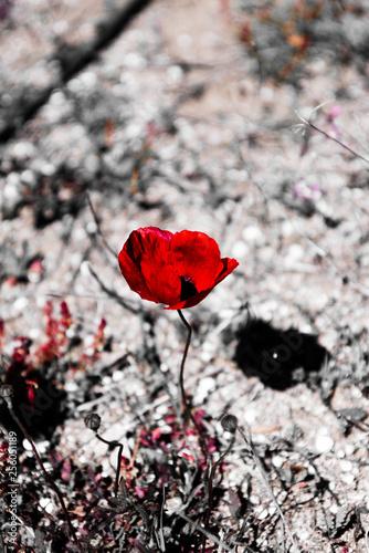A single red poppy (orange splash) - 256051189