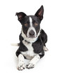 Border Collie Crossbreed Dog Lying on White