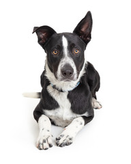 Border Collie Crossbreed Dog Lying on White