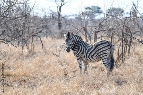 Zebra - 256084942