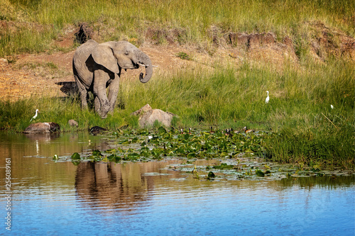 Elephant Calf Alone At Watering Hole in Africa