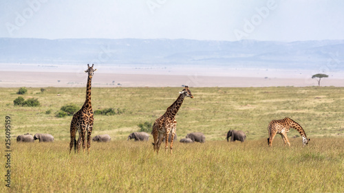 Masai Giraffe and Elephants in Grasslands