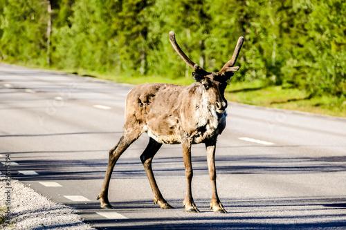 reindeer in the forest, in Sweden Scandinavia North Europe