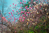 Magnolia Sulange blooming on background of blue sky. Pink and white burgeon on thin branches. Spring blossom concept.