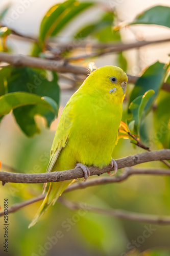 Yellow shell parakeet perching on a perch