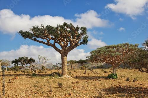Bottle tree, Dragon blood tree, Socotra island, Yemen, Indian ocean