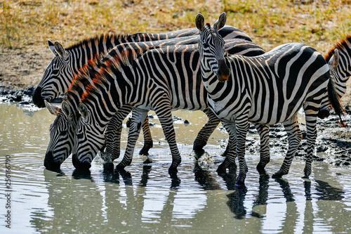 herd of zebra - 256166790