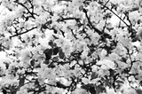 Flowers of an apple-tree in the spring. Black and white nature background outdoors in summer