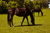 Fototapeta Horses - Dwa konie na łące © Studio Migafka