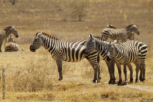 Zebra's sleeping - 256177165