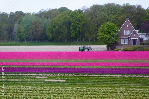 fototapeta na ścianę tulip field taken in Holland