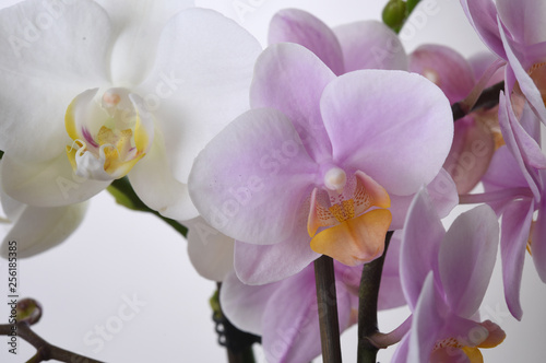 orchid on a white background - 256185385