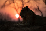 Male Lion sitting during Sunset