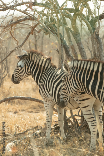 Two Zebras in South Africa - 256195918