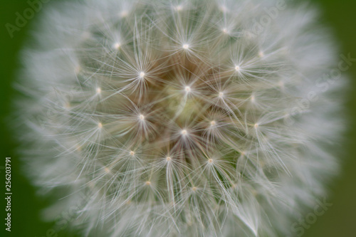 dandelions on green background - 256203791