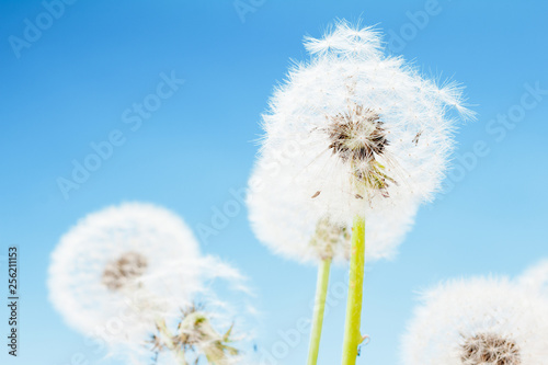 Group of dandelion on blue sky closeup, summaer or spring - 256211153