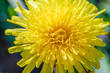 Yellow dandelion macro close up flowers on background of green spring meadows.
