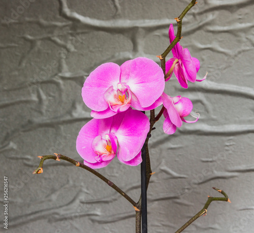 Purple orchid flower phalaenopsis. Close-up. - 256216547