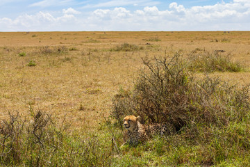 Cheetah lying down at the big savanna landscape