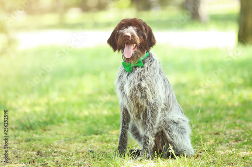 German pointer dog with bow tie in the park