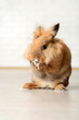 Brown beautiful rabbit on the floor