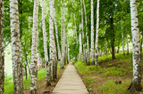 Spring birch alley