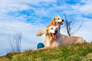 Perros graciosos de raza golden retriever. Retratos de mascotas felices al aire libre