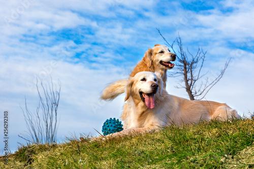 fototapeta na ścianę Perros graciosos de raza golden retriever. Retratos de mascotas felices al aire libre