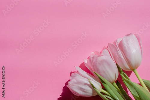 Pink background with fresh tulips - 256303109