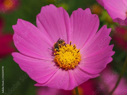 ミツバチとコスモス - 256304790