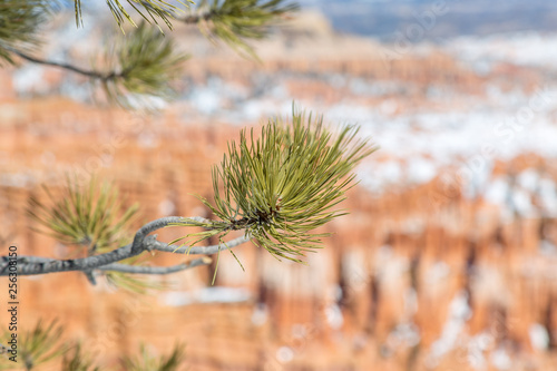 Foto Murales A close up of pine needles on a branch at Bryce Canyon, with a shallow depth of field