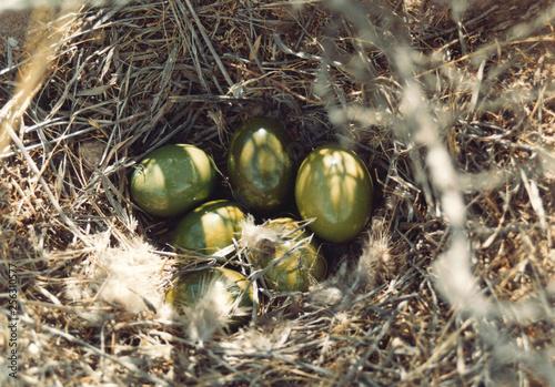 huevos de perdiz